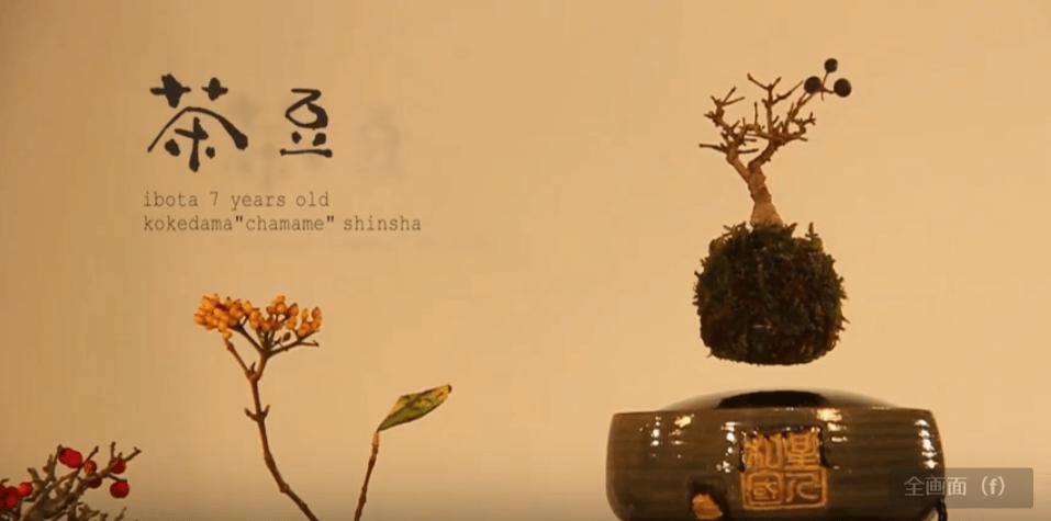 茶豆(chamame):イボタノキ(樹齢7年)