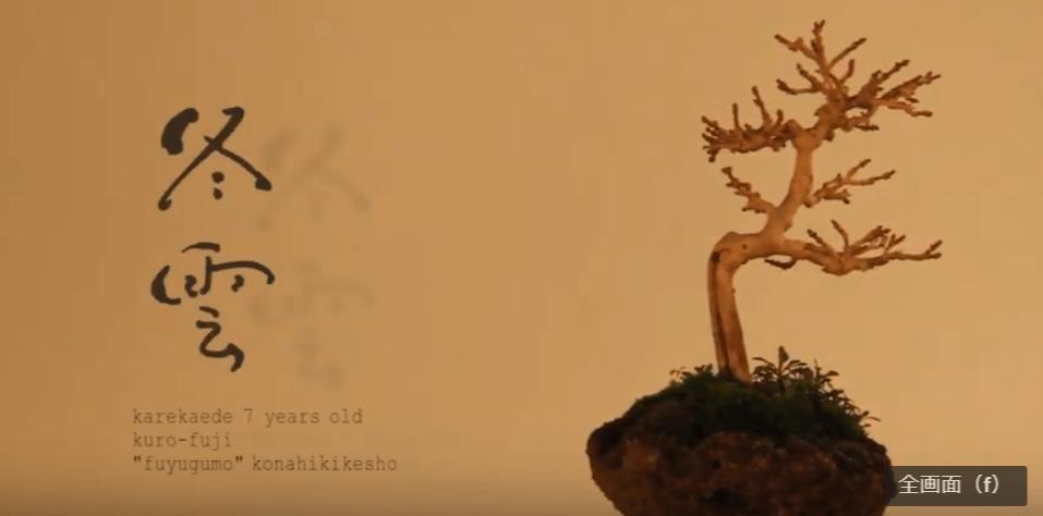 冬雲(fuyugumo):枯れ楓(樹齢7年)