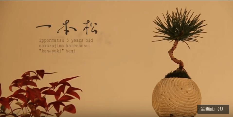 一本松(ipponmatsu):一本松(樹齢5年)