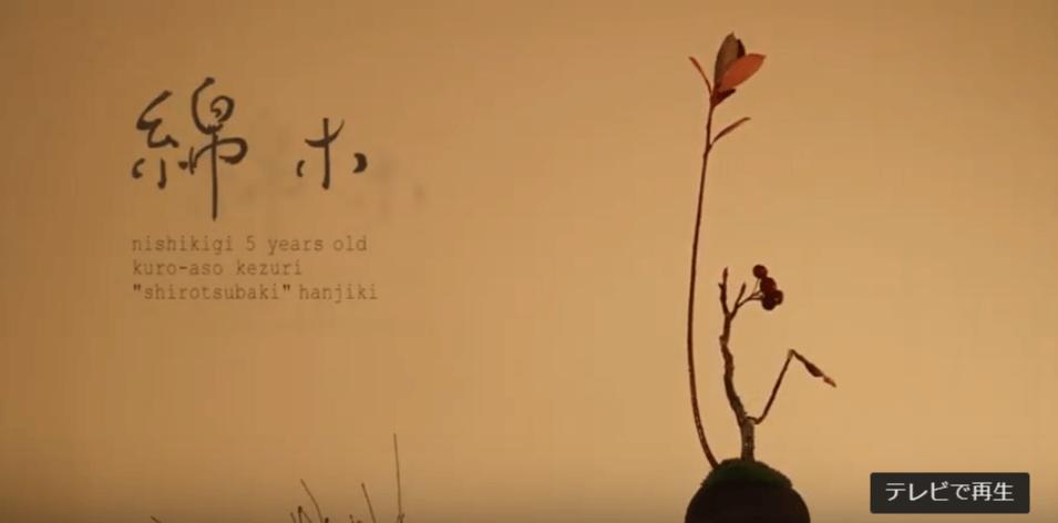 錦木(nishikigi):白椿(樹齢5年)