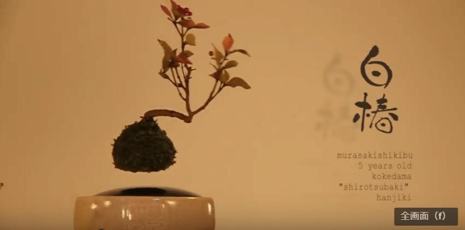 白椿(sirotubaki):ムラサキシキブ(樹齢5年)