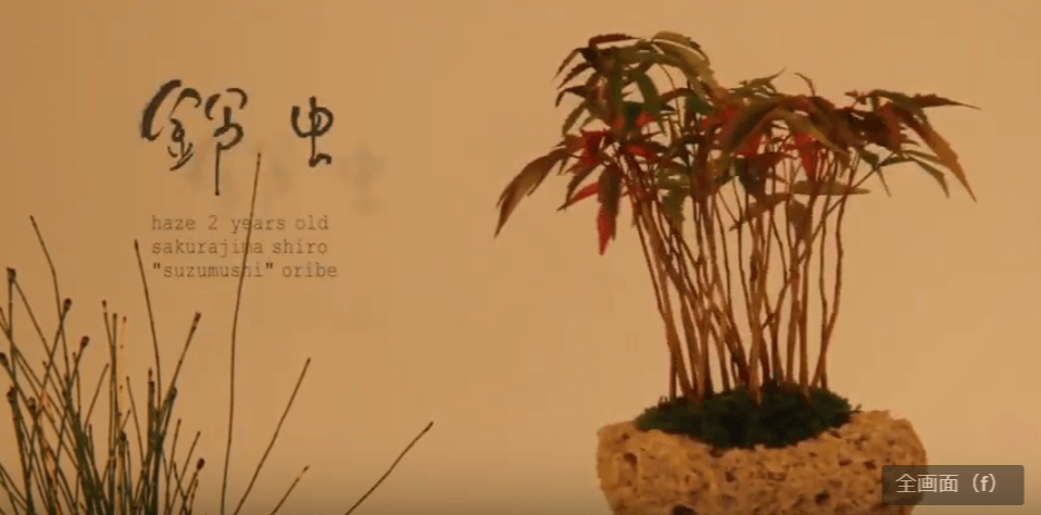 鈴虫(suzumushi):ハゼ(樹齢2年)